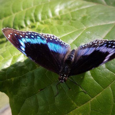 Australian Butterfly in Kuranda